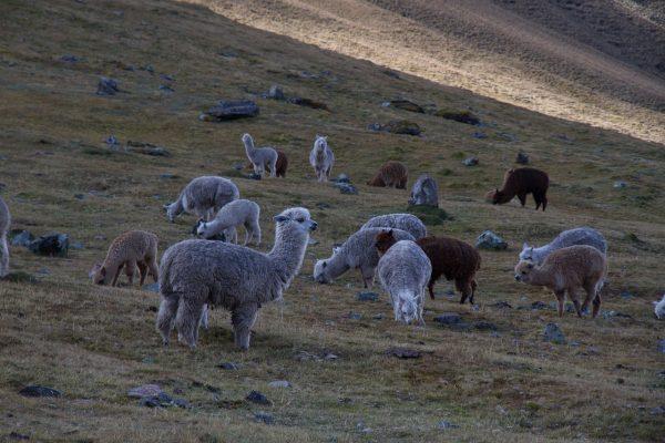 alpacas-1030913_1280