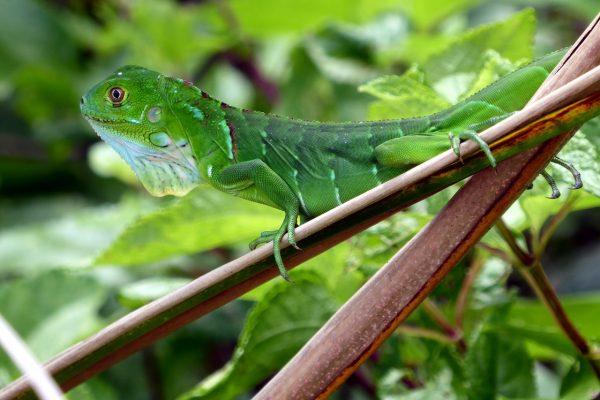 iguana-1742968_1280