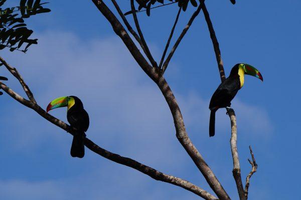 keel-billed-toucan-1080724_1920